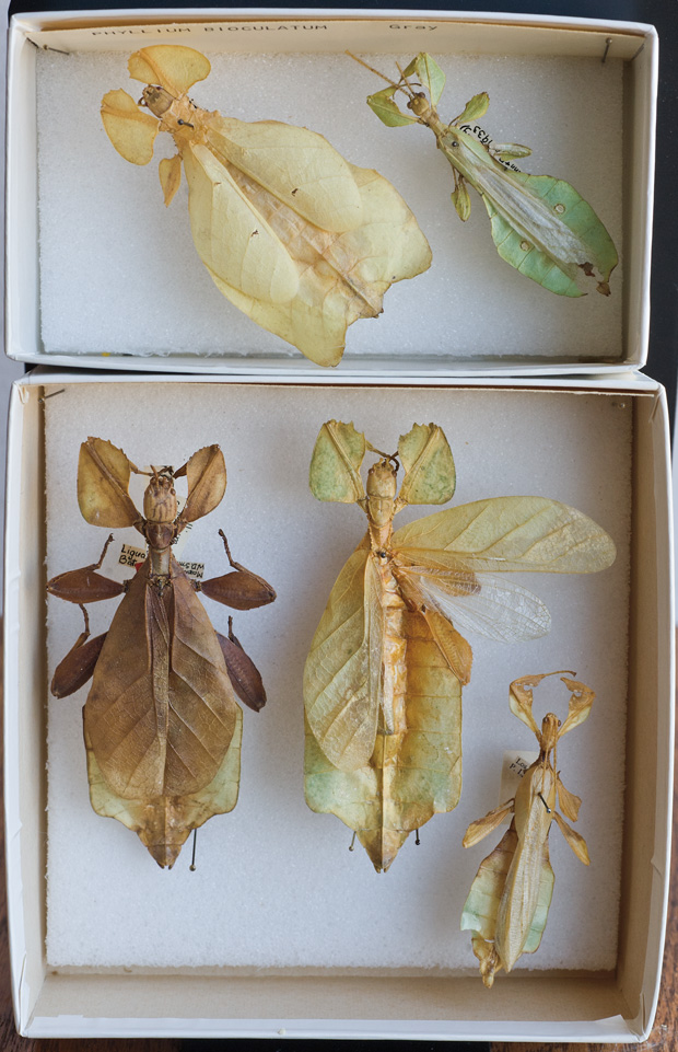 agloriousenterprise25 - Leaf insects - Philippine Photo Gallery