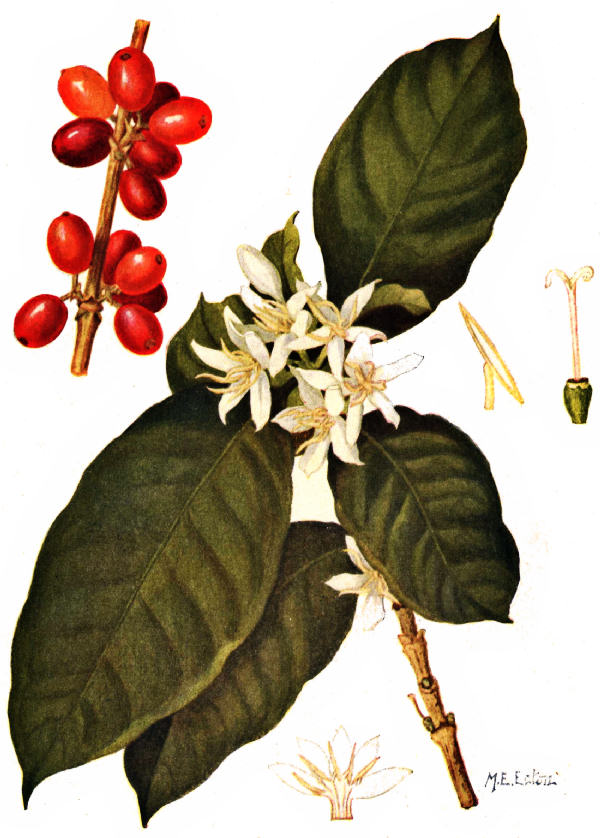 Coffee Bean Tree Drawing Coffee Arabica Leaves
